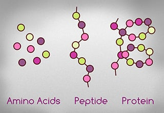 amino acid, peptide, protein